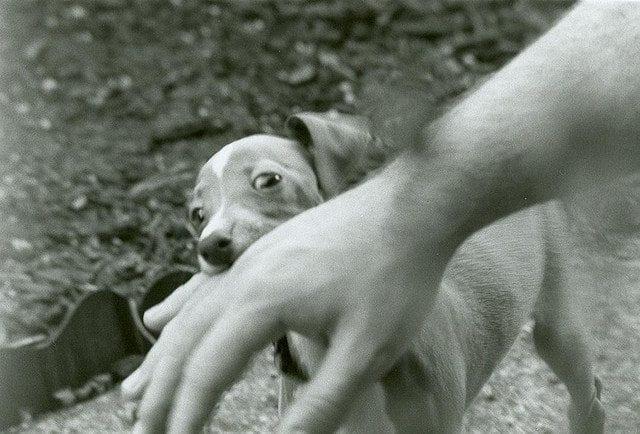 Kysy koirakouluttajalta: Koiranpentu puree, mikä neuvoksi?
