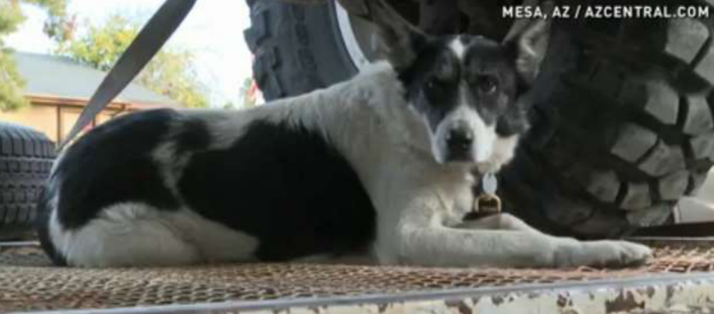 Koira säikähti raketteja – Löytyi 1 300 kilometrin päästä kotoaan