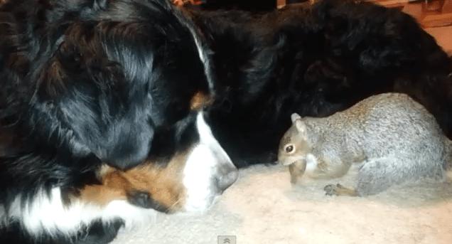 Nyt löytyi erikoinen video – Orava piilottaa tammenterhon berninpaimenkoiran turkkiin!