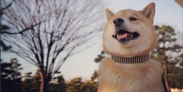 Maru-shiba hurmaa hymyllään – Instagramissa jo yli 700 000 seuraajaa