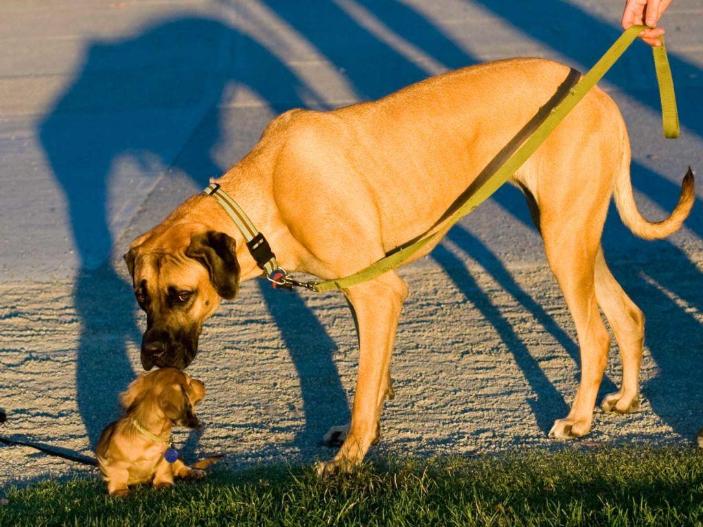Tutkimus väittää: Mitä pienempi koira, sitä huonompi käytös