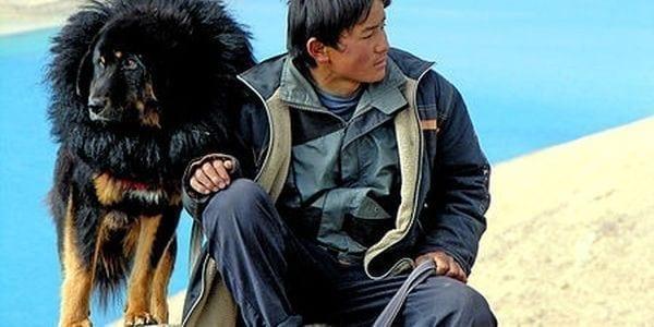 Onko tässä maailman kallein koira? Tiibetinmastiffi myytiin kahdella miljoonalla dollarilla