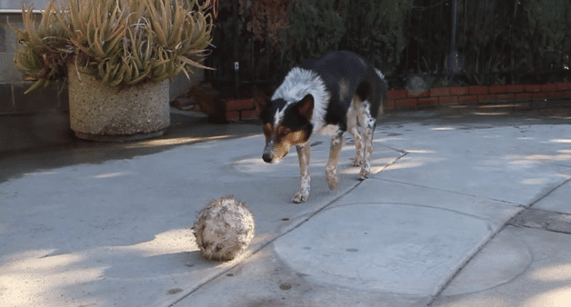 Onko koirasi hyvä tokossa? Katsopa tämä uskomaton video ja mieti uudestaan!