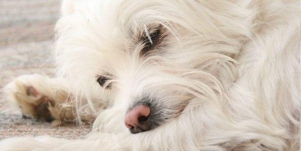 Kärsiikö koirasi kivusta? Tunnista kipu näistä merkeistä