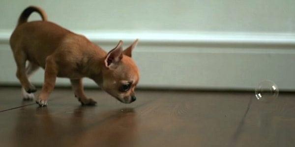 Chihuahuan pentu jahtaa saippuakuplia – Katso ihastuttava video!