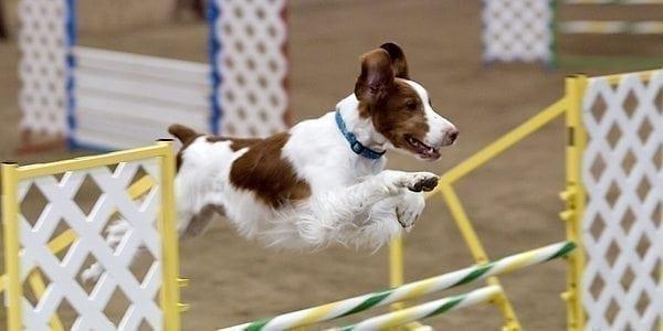 Uusi palvelu kokoaa koiraharrastukset samaan paikkaan
