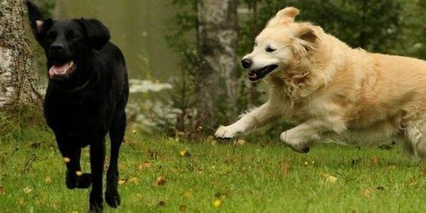 Pitkän iän salaisuus – ennakoimalla voit lykätä ja estää koiran vanhuuden vaivoja