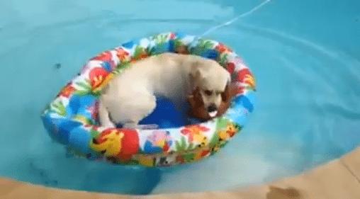 Tässäpä tyylipuhdas altaaseen meno labradorilta!