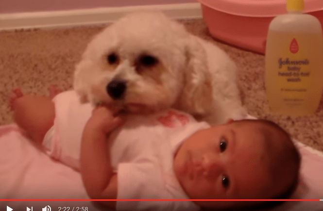 Puudeli pelasti pikkuvauvan pahalta pölynimurilta! Suloinen video!