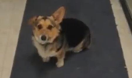 Hello mate! koira reagoi ainoastaan brittiaksenttiin