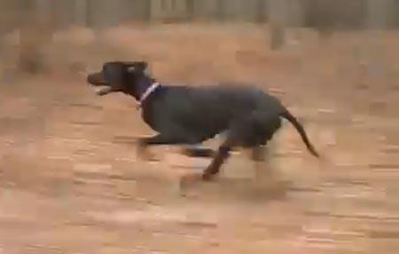 Tämä koira on nopea! Isäntä pysyy hädin tuskin mönkijällä perässä