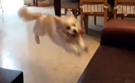 Välillä sattuu kun tapahtuu – koira ajoitti sohvalle hypyn aivan pieleen!