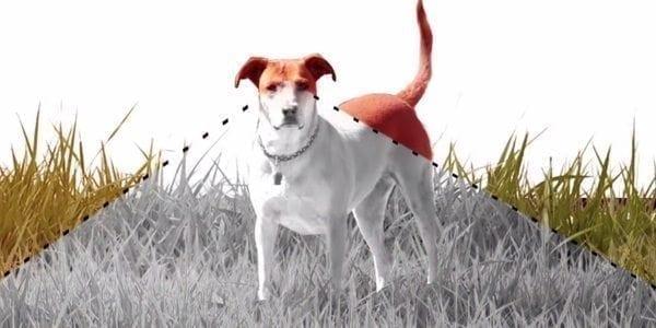 Koiran Näkö