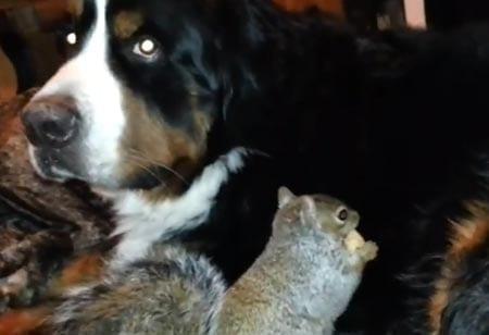 Orava piilotti pähkinöitä koiran turkkiin –menivät hukkaan! Katso hauska video!
