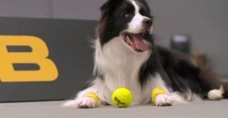 Koirat pallopoikina tennisottelussa –mikä nerokas idea!