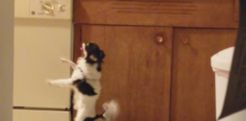 Kalkkuna tuoksui pöydällä –koira pisti tanssiksi!
