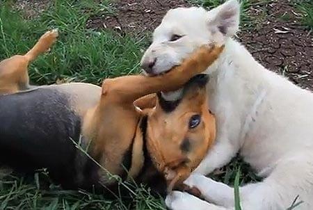 Koira ja leijonanpentu ystävystyivät! Katso ihana video!