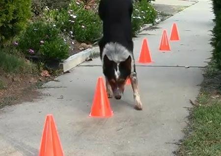 Jumpy-koiran uskomattomat temput! Huikea video!