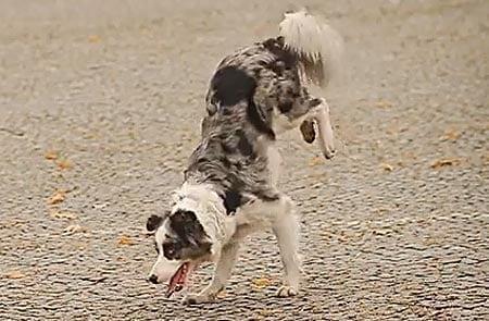 50 upeaa koiratemppua – tämäbordercollie osaa ne kaikki!