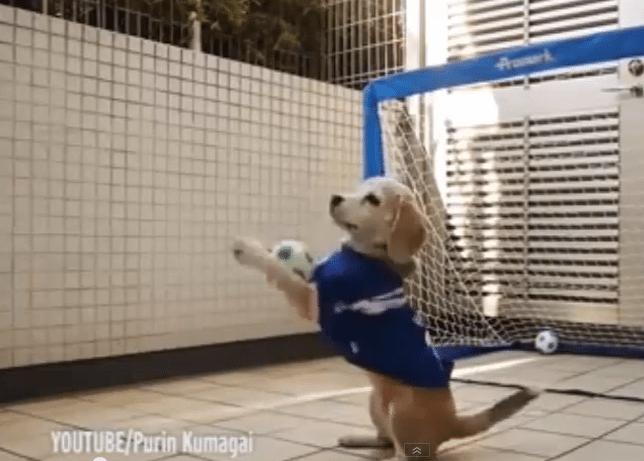 Beagle maalivahtina on ilmiömäinen torjuja!