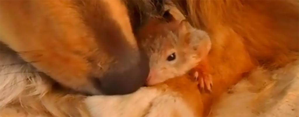 Onko tässä söpöin video ikinä? Suomalaiset colliet adoptoivat orvoksi jääneet oravanpoikaset!