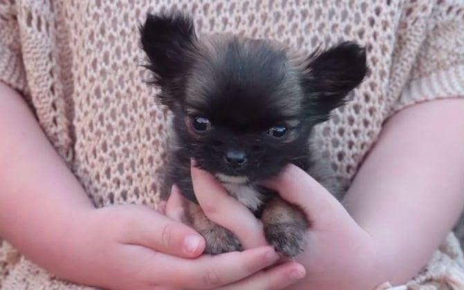 Englannin pienin koira on.. no todella pieni!