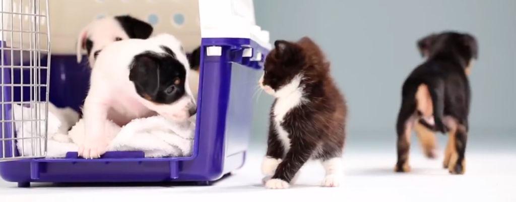 Viikon hellyttävin video: pentukoirat ja -kissat tapaavat toisensa ensi kertaa!