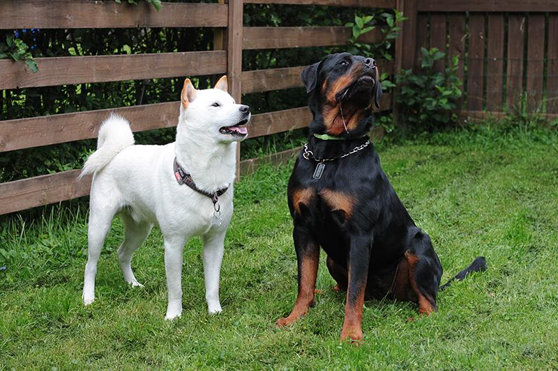 Vaikka Ricky osaa olla kotioloissa rauhallinen, se käy toisinaan johtajuustaistelua noin vuotta vanhemman Tara-rottweilerin kanssa.