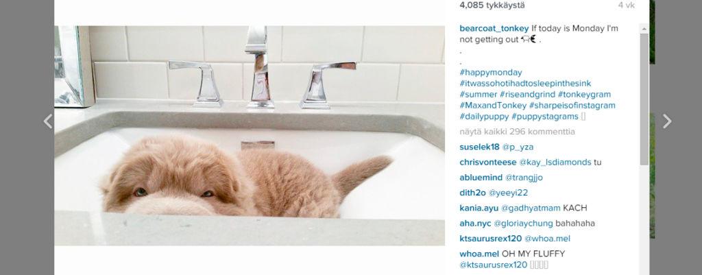 Instagramin suloisin koiranpentu on pörröinen kuin nallekarhu!