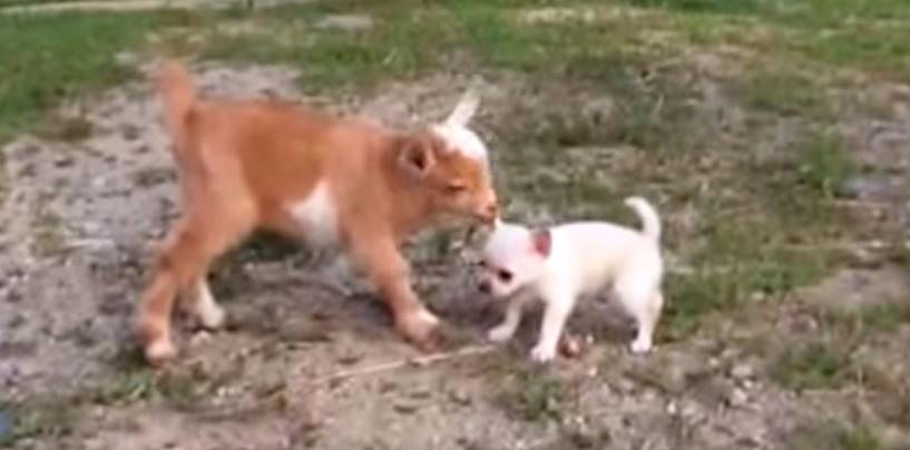 Ystävyys ei katso ulkonäköä: chihuahuan pennun parhaita ystäviä ovat pikkuiset kilit!