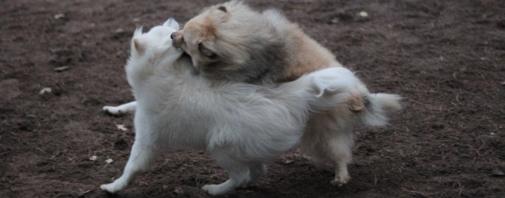 Koira tuntee surua ja mielihyvää muttei katumusta tai häpeää – Tiesitkö tämän lemmikkisi tunteista?