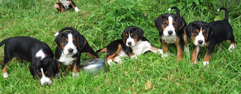 Koirankasvatus – kallis harrastus vai tuottoisaa liiketoimintaa?