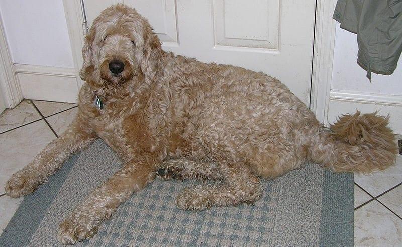 Jo on aikoihin eletty – Maksaisitko sinä 1600 euroa sekarotuisesta koirasta?
