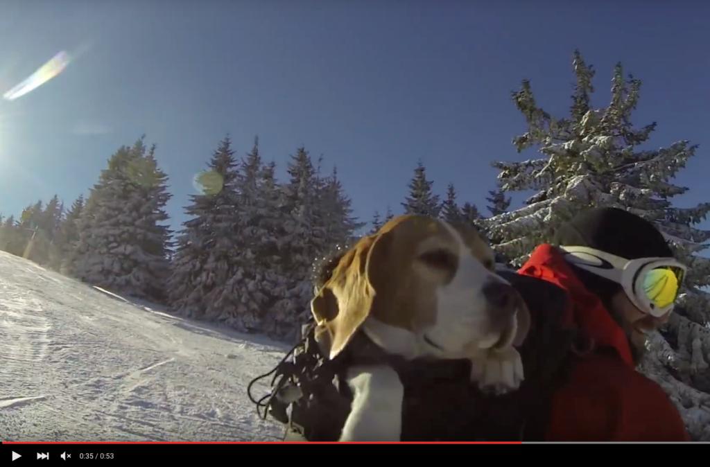 Vauhdin hurmaa vai täyttä hulluutta? Beagle mäessä lumilautailijaisäntänsä repussa
