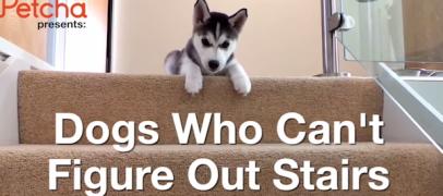 Seinä nousi pystyyn! Nämä koirat vain eivät pysty käsittelemään portaita