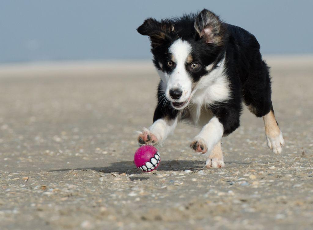 Tiedemaailmasta: kärsivällisyys viittaa koirien ongelmanratkaisukykyyn