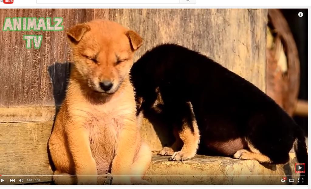 Kauniita unia! Nämä koirat vain eivät pysy enää hereillä