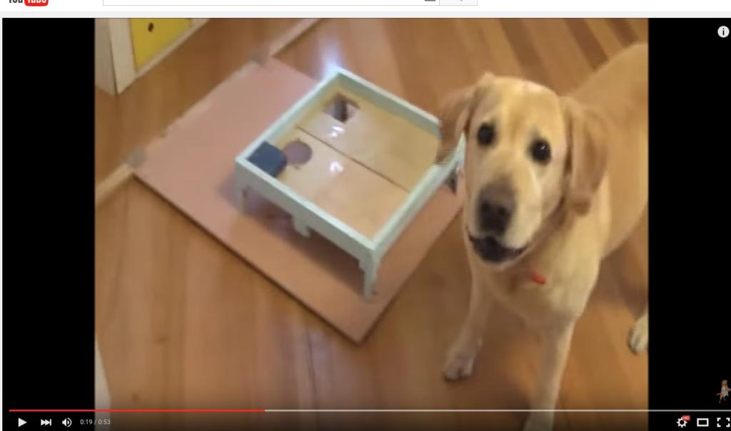 Onko Albert maailman fiksuin labradorinnoutaja? Katso hauskat videot!