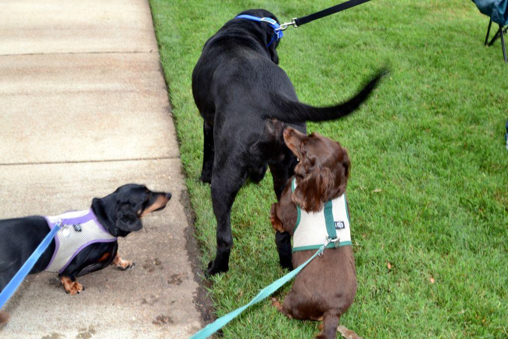 Miksi koirat nuuhkivat takamuksia? Tutkija vastaa videolla