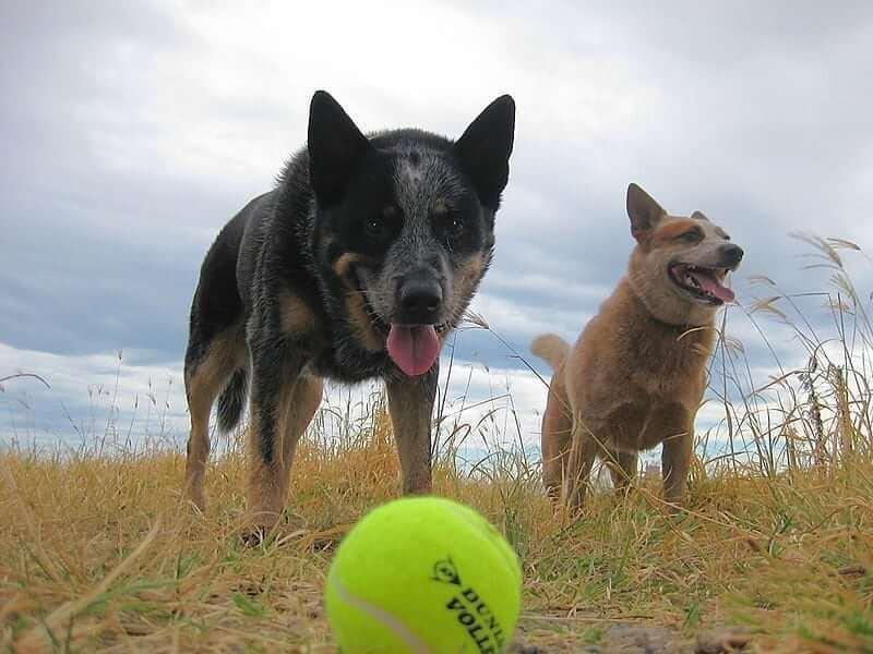Kysely: Koiratarvikkeet kuten lelut, hihnat, pannat ja pedit