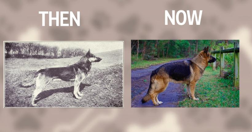Näin koirarodut ovat muuttuneet – katso hurjat muodonmuutokset