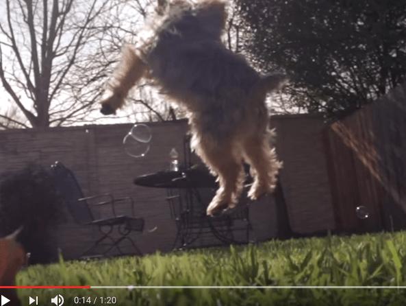 Hidastettu video: koira metsästää saippuakuplia