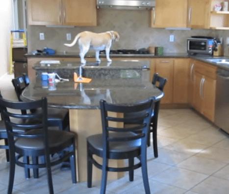 Huippuälykäs koira ratkaisi monimutkaisen ongelman – varasti kanat suoraan uunista