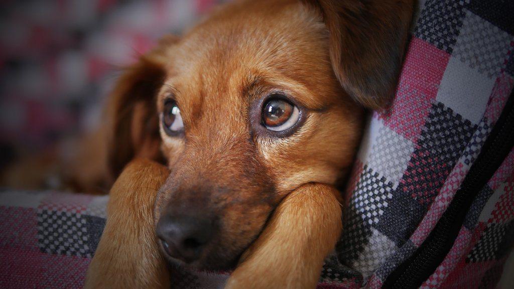Miksi koira oksentaa? – Usein kotihoito riittää, mutta joskus on oikea hätä