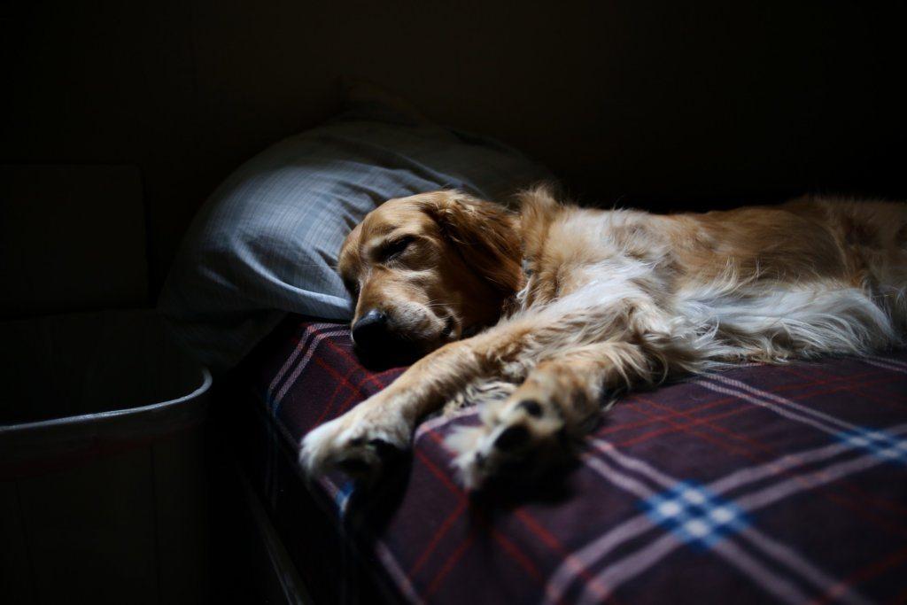 Miksi koira on väsynyt? – Vaisuuden taustalla voi olla ongelma terveydessä