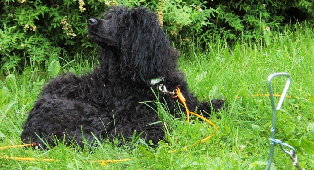 Juoksuvaijerilla vapaudentunne luodaan koiralle helposti ja turvallisesti